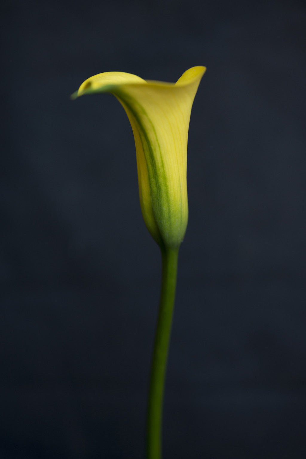 Yellow Calla Liilly
