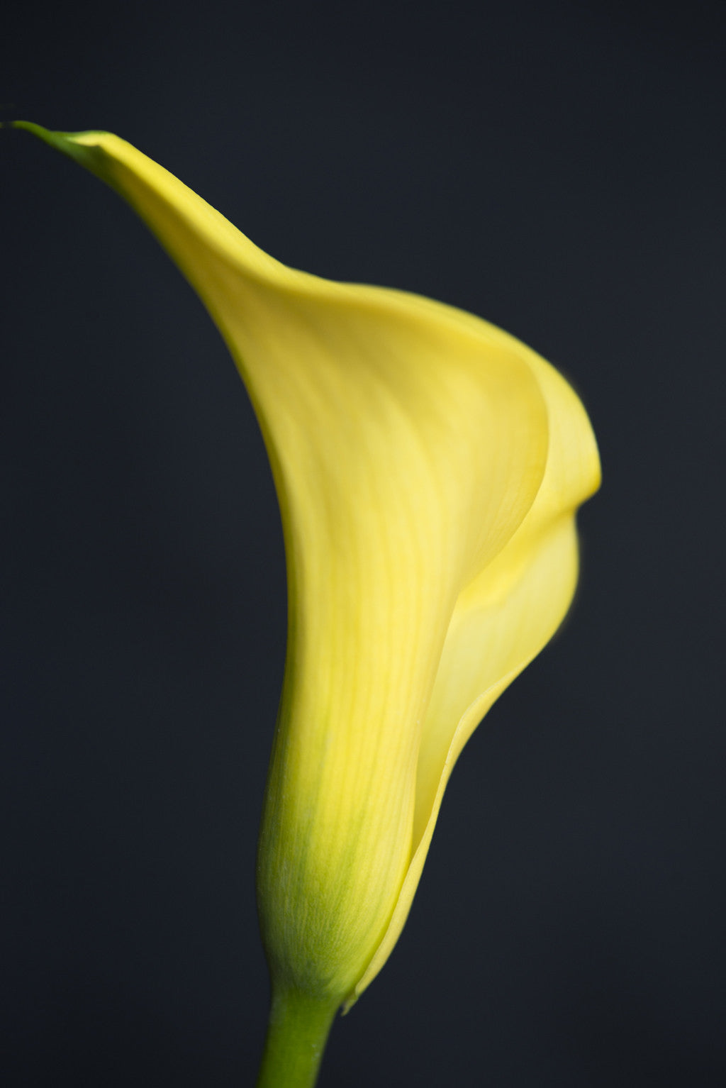 Calla Lilly in Yellow
