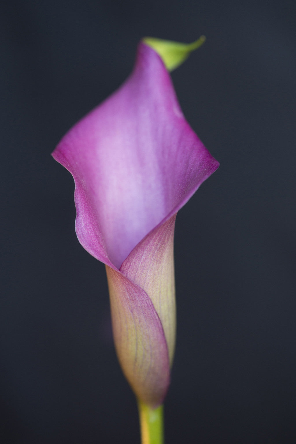 Calla Lilly in Purple