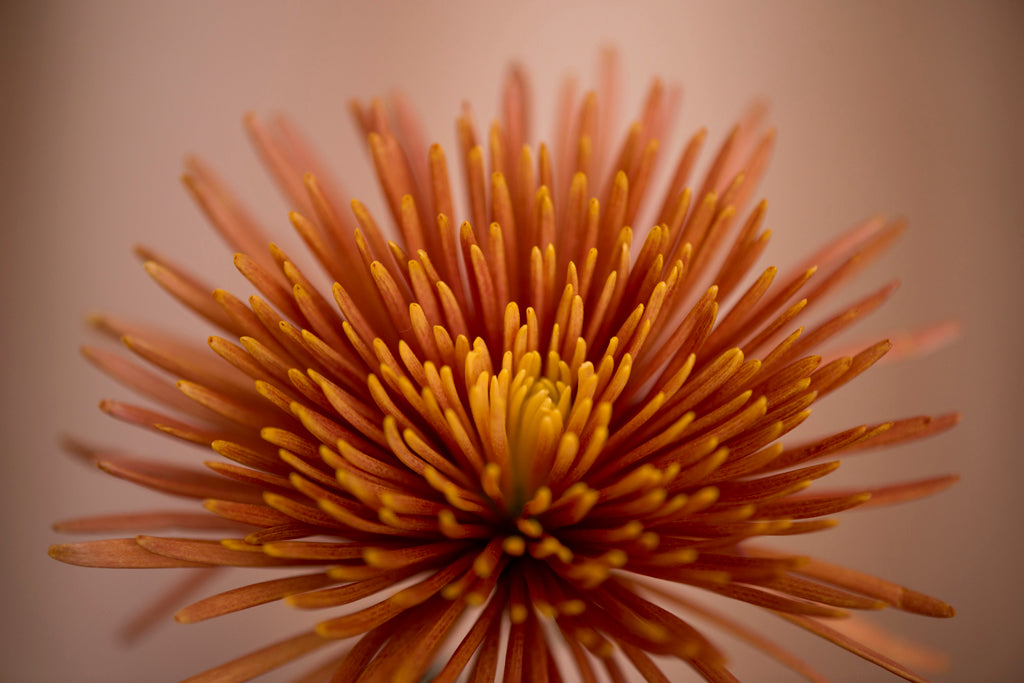 Orange Spider Mum