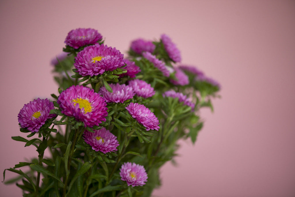 Matsumoto Asters on Pink