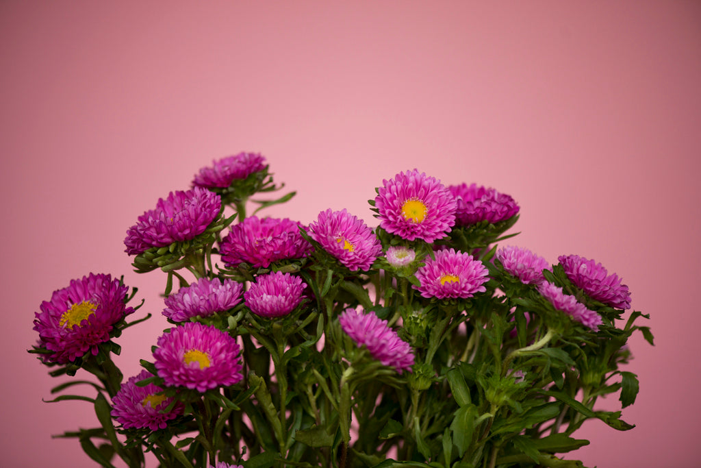 Matsumoto Asters on Pink 2