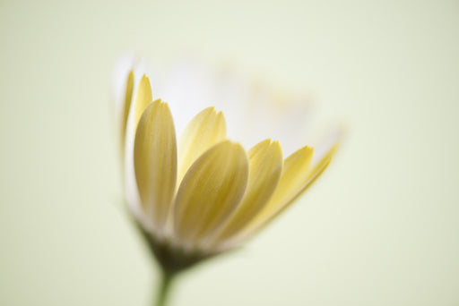 Yellow and White Daisy