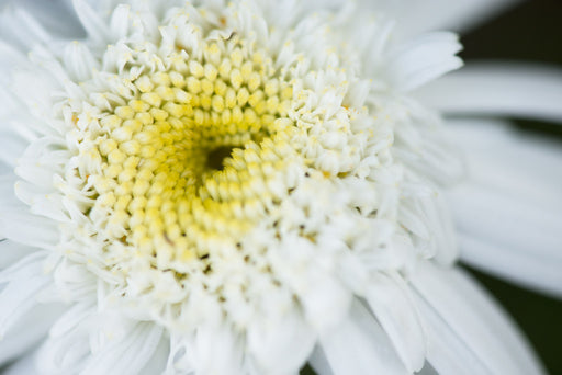 Soft Yellow Daisy