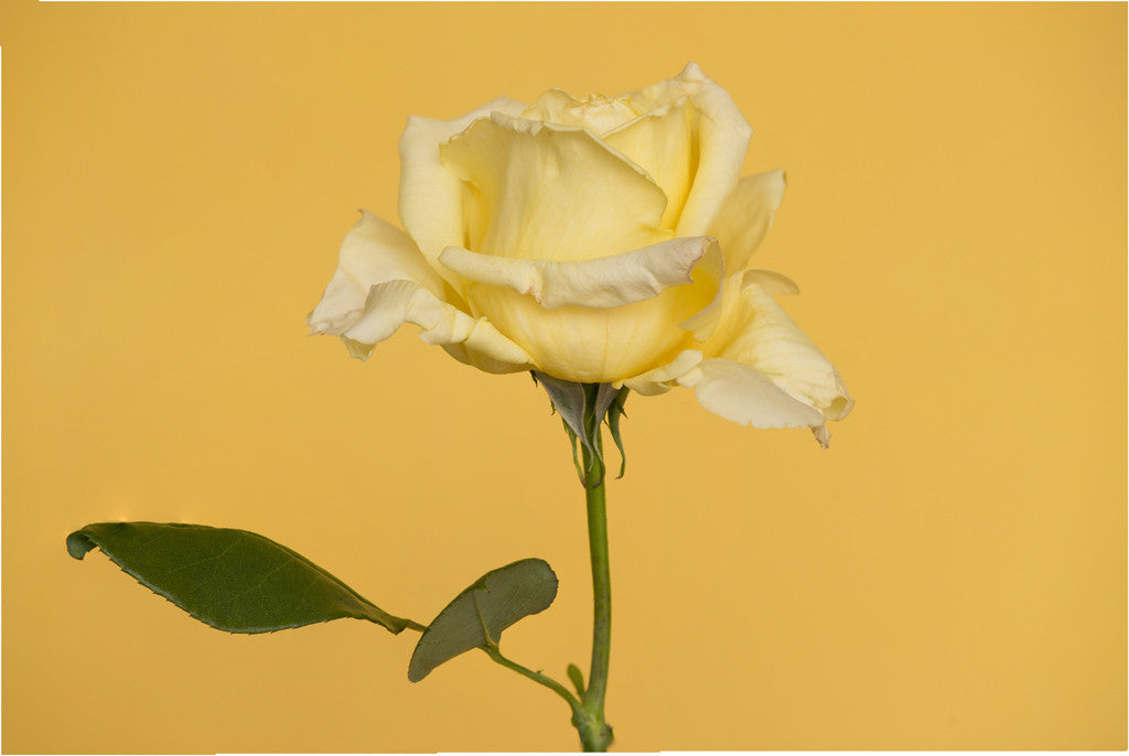Single Yellow Rose