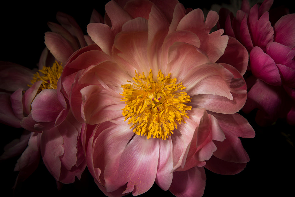 Light Sculpted Peonies