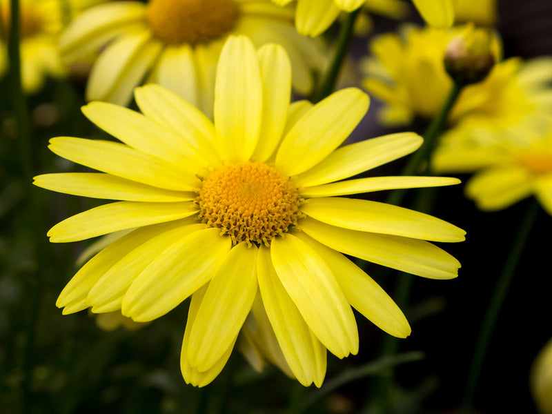Arnica Oil For Muscles, Joints, Swelling And Injuries