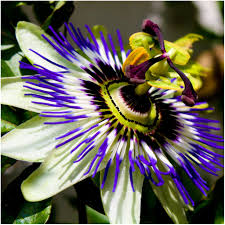 Passionflower Skin Benefits