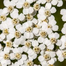Yarrow Cleansing Grains | Sweet Life Spa