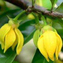 Organic Ylang-ylang Oil | Sweet Life Spa