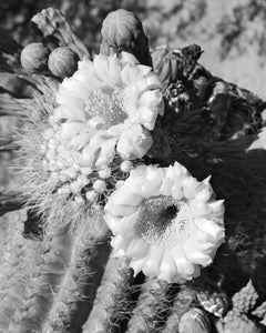 Black and White Vintage Photography by Senator Barry Goldwater (Desert Corsage) - Art Prints and Wall Decor