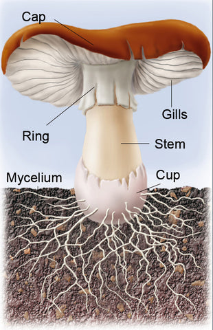 labelled illustration of matured mushroom showing where to find the mushroom's Cap, Gills, Ring, Stem, Cup, and Mycelium.