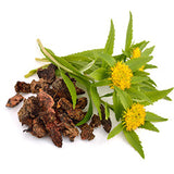 Rhodiola helps reduce anxiety and fatigue