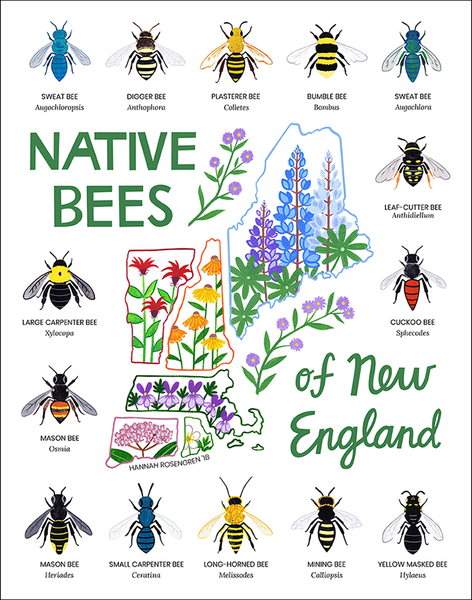 "Native Bees of New England 11x14"" Print"