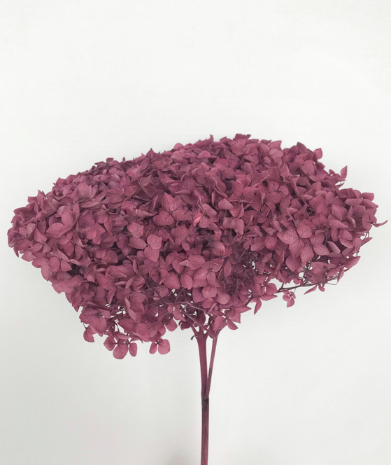 Preserved Hydrangea ~ Red Wine
