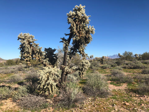 Wild cacti tree at Superstition Mountain