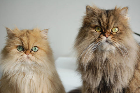 cats with soft fur