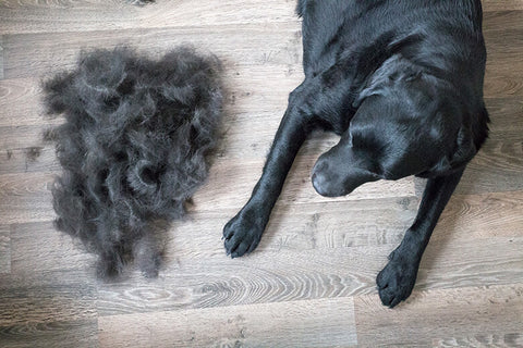 dog shedding his hair