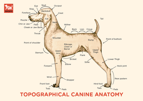 Image result for anatomy of the Dog