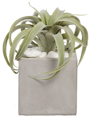 "6"" Concrete Balboa Square with Airplant AR1019"