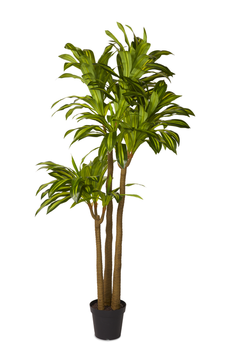 7' Lemon Lime Dracaena  FP1022