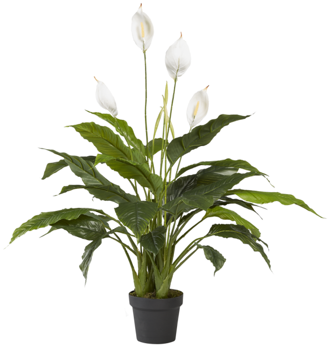 3.5' Spathiphyllum Peace Lily   FP1048