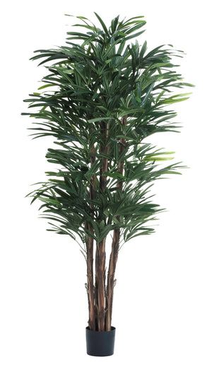 5' Rhapis Palm FP1138