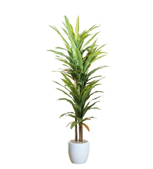 8'  Dracaena Tree in Large White Hayden         PC1163