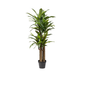 4' Dracaena Tree with Green Leaves  FP1164