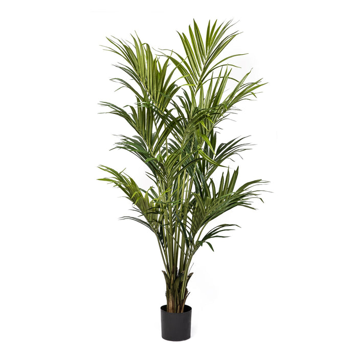 6.5' Kentia Palm with 328 Leaves    FP1170