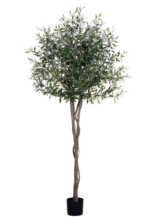 6' Olive Tree-No Olives   FP1187