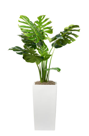 4' Monstera Plant in Large Logan Planter  PC1012WHLN