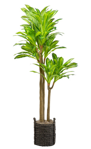 7' Lemon Lime Dracaena in Black Basket   PC1022BKBS