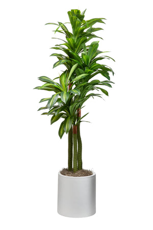 7' Dracaena Plant in Medium White Zander Planter    PC1022WHZA