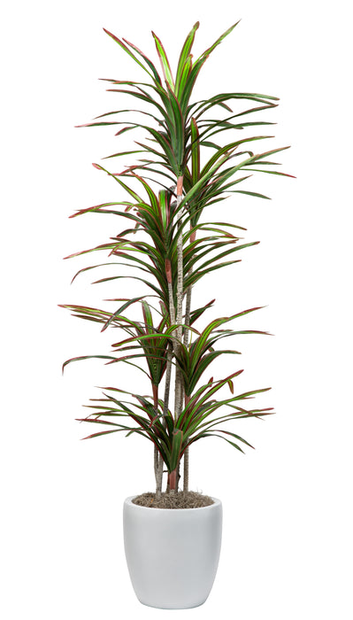 7' Thin Dracaena in Medium White Hayden Planter    PC1023WHHA