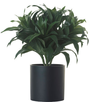 "14"" Dracaena Bush in 12"" Black Zander PC1025BKZA"