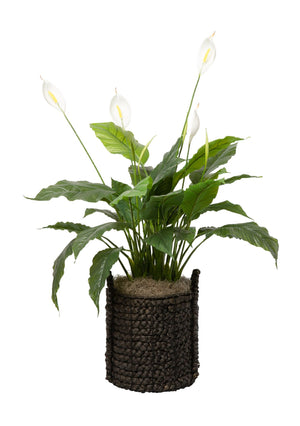 3.5' Peace Lilly (w/flowers) in Black Handled Basket PC1048BKBS