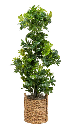 5' Schefflera in Natural Handled Basket PC1050NABS