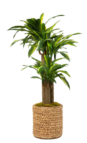 5' Dracaena in Natural Basket     PC1057