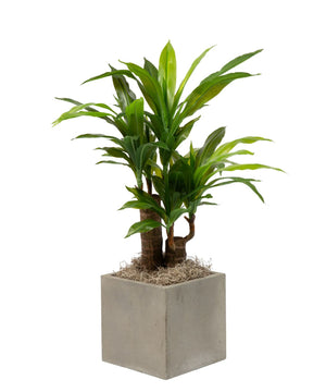 2' Dracaena in Balboa Planter PC1063GYCT