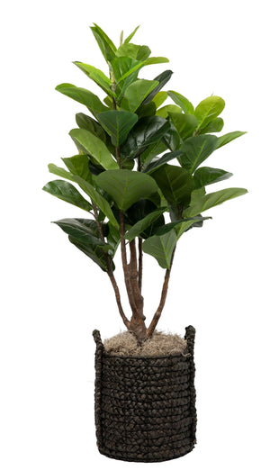 4' Fiddle Fig in Black Handled Basket PC1075BKBS