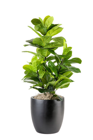 "43"" Fiddle Fig in Black Hayden Planter PC1079BKHA"