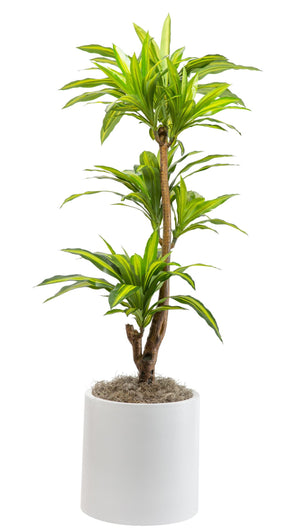 6' Dracaena in White Zander PC1094WHZA