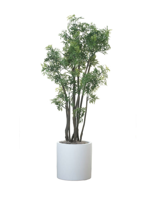 "5' Ming Aralia in a 15"" White Zander PC1134WHZA"