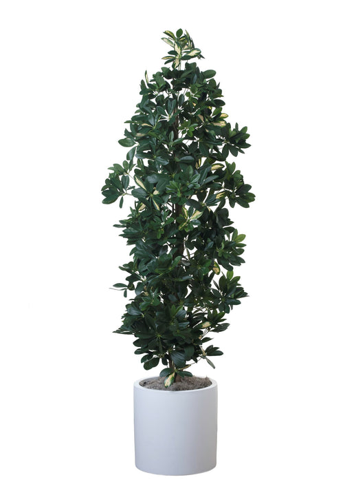 "5.5"" Baby Schefflera in 15"" White Zander PC1140WHZA"