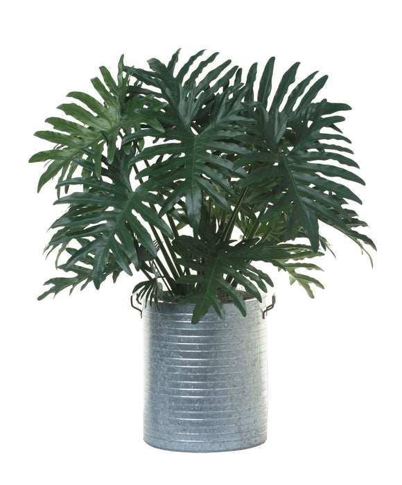 3' Philodendron Selloum FP1142