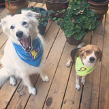 Pet Bandana (Lg BLUE & Sm YELLOW)(Tax free; S&H included)