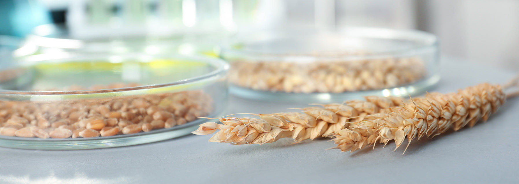 wheat on a table and grain included in petri dishes