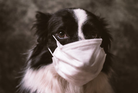 Border Collie with Surgical Mask