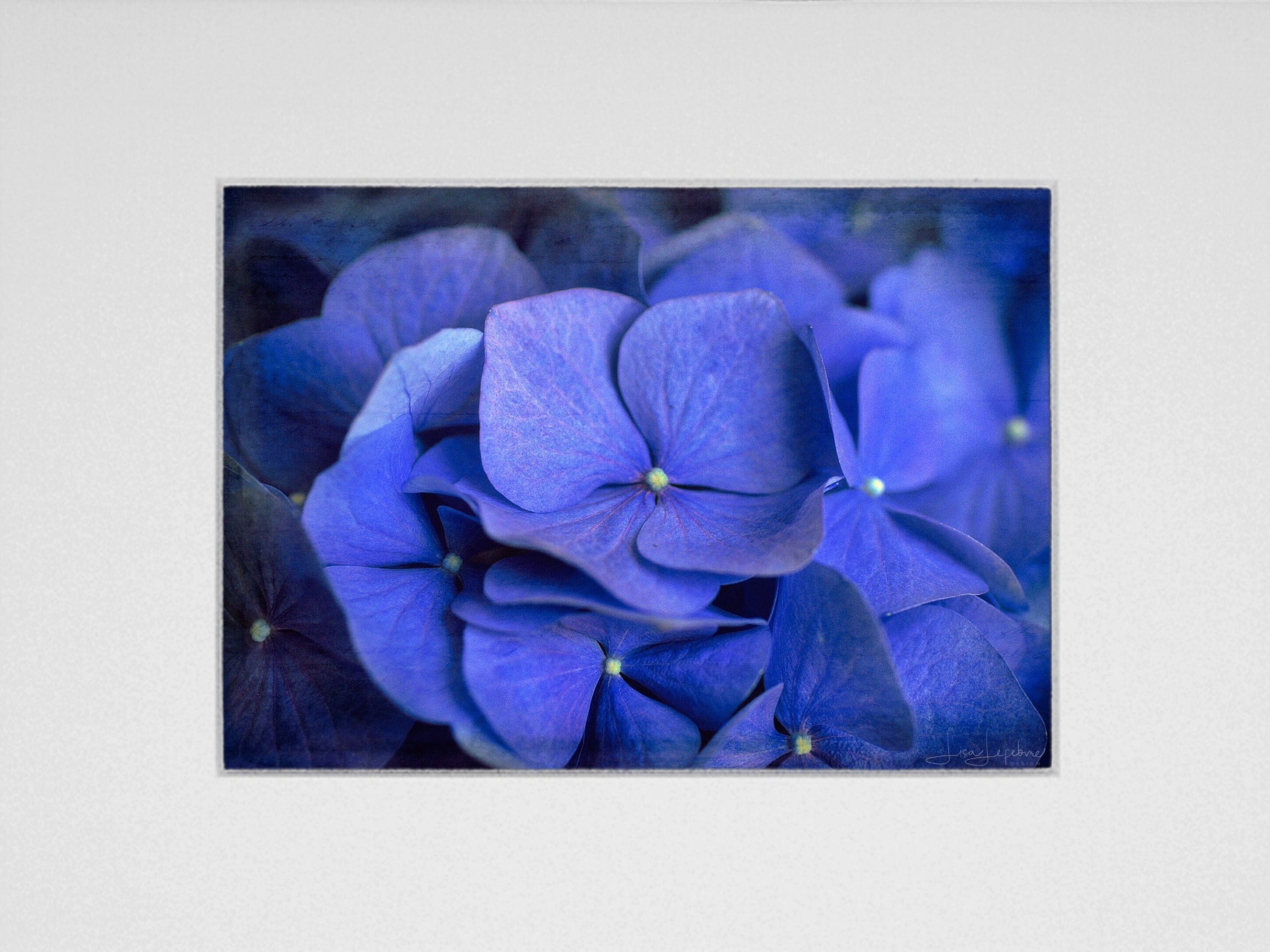 Blue Aster Hydrangea Print - Original Photographic Print